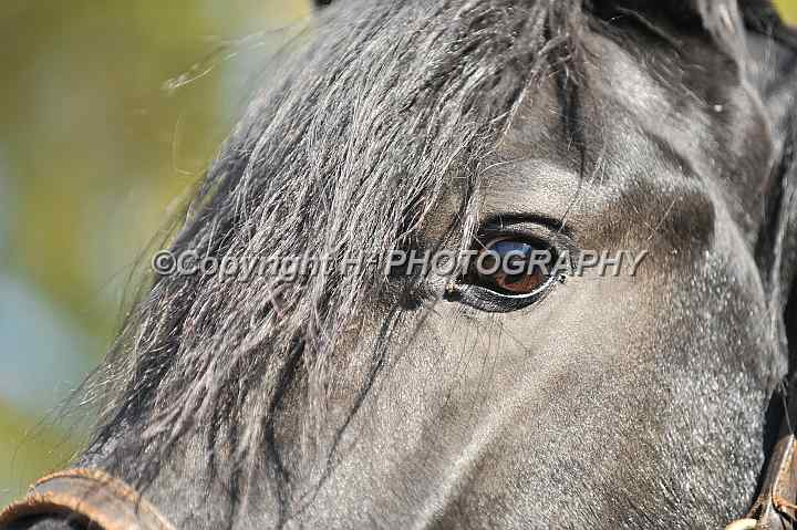 Friesian Eye