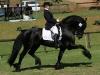 Friso Champ Stallion Saddle